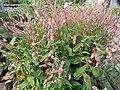 Persicaria amplexicaulis (6167203731).jpg