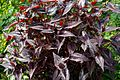 Persicaria microcephala 'Red Dragon' at Myddelton House garden, Enfield, London 01.jpg