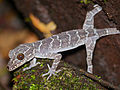 Peters' Bow-fingered Gecko (Cyrtodactylus consobrinus) (15513430055).jpg