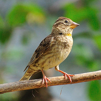 Rock sparrow - In Ariege, Midi-Pyrenee, France