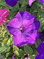 Petunia 15.jpg