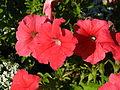 Petunia hybr. (red) 01.JPG