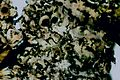 Phaeophyscia sciastra-2.jpg