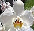 Phalaenopsis-de.jpg