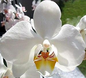 Phalaenopsis - Phalaenopsis cultivar, possibly 'Aphrodite'