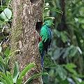 Pharomachrus mocinno Monteverde 19.jpg