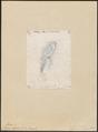 Pharomacrus fulgidus - 1857-1858 - Print - Iconographia Zoologica - Special Collections University of Amsterdam - UBA01 IZ16700377.tif