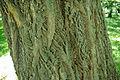 Phellodendron amurense bark.jpg