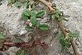 Phyla nodiflora kz04.jpg