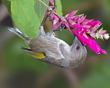 A female crescent honeyeater feeding while hanging upside down from a spray of tubular flowers
