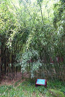 <i>Phyllostachys rubromarginata</i> species of plant