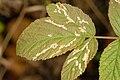 Phytomyza.angelicastri8.-.lindsey.jpg