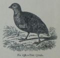 Picture Natural History - No 158 - The Quail.png