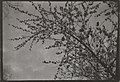 Picture of budding branches by Alfred von Berlepsch, friend of Akseli and Mary Gallen-Kallela, during his visit to Paris in April, 1909 (34640560810).jpg