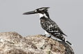 Pied Kingfisher, Ceryle rudis at Borakalalo National Park, South Africa (9822713876).jpg