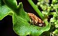 Pienik ślinianka (Philaenus spumarius).jpg