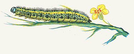 Pieris brassicae chenille par Nemos.jpg