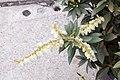 Pieris japonica var. yakushimanum 3zz.jpg