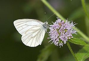 Rapeseed White (Pieris napi)