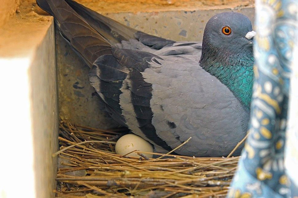 Pigeon incubating egg 1