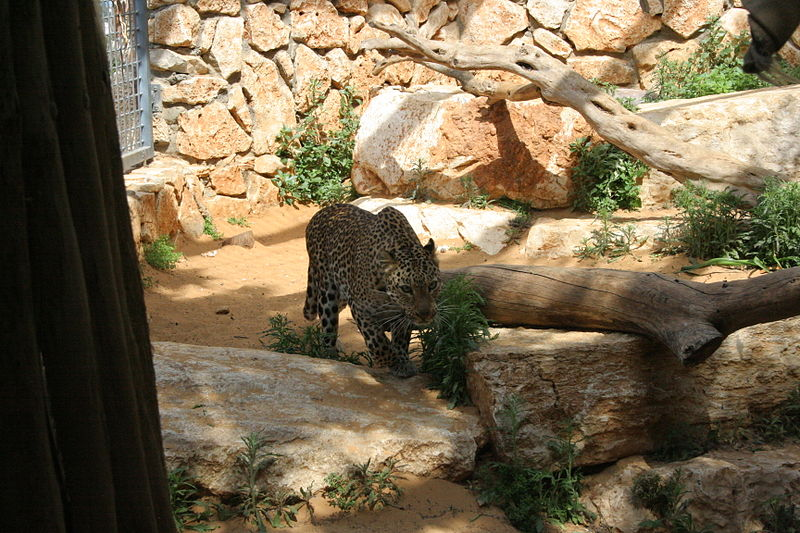 נמר בגן החיות