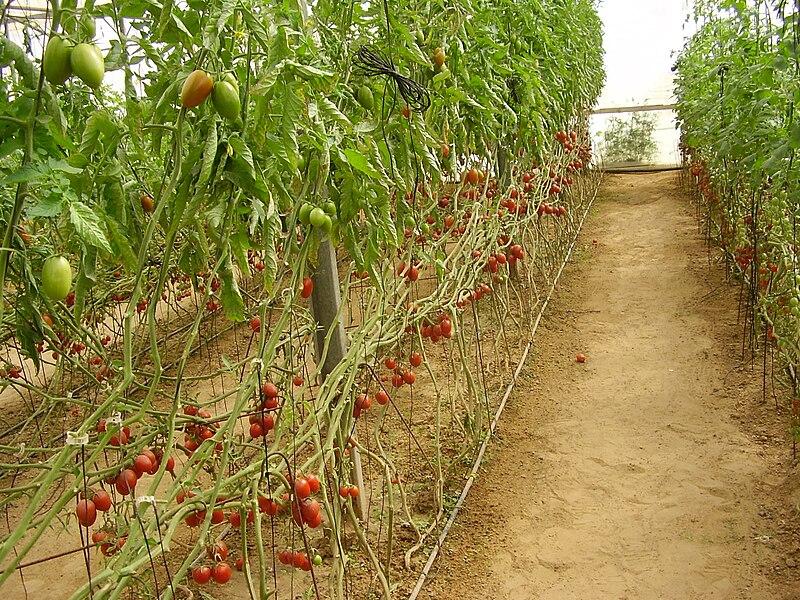 עגבניות בתלמי יוסף