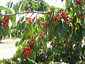 PikiWiki Israel 20151 Cherries in Kibbutz Ein Zivan Golan Heights.JPG