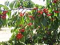 PikiWiki Israel 20151 Cherries in Kibbutz Ein Zivan Golan Heights.JPG