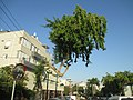 PikiWiki Israel 51296 a tree with a hump in givatayim.jpg