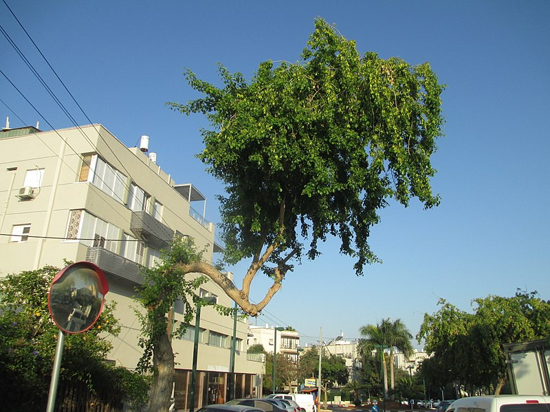 עץ עם גבנון בגבעתיים