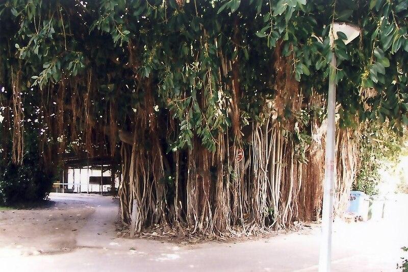 גן שמואל-עץ הפיקוס 2006