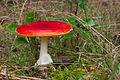 Pilz im Forst Rundshorn IMG Forst Rundshorn IMG 1436.jpg