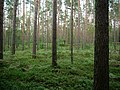 Pine-Forest in the Spandauer Forst.jpg