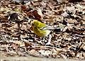 Pine Warbler (25233034537).jpg