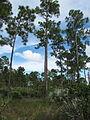 Pine flatwoods 002 by Scott Zona.jpg