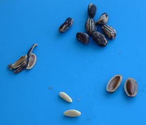 Pine nut - European Stone Pine nuts (Pinus pinea) to be compared with the picture below