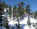 Pinus lambertiana forest Cucamonga Wilderness.jpg