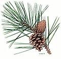 Pinus nigra Fekete fenyő.jpg