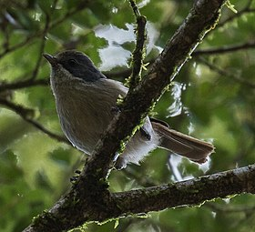 Pipipi (Brown Creeper) - South Island - New Zealand .jpg