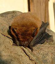 Common Pipistrelle, Pipistrellus pipistrellus