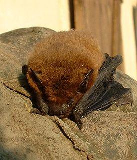 Yangochiroptera suborder of mammals