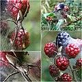 Pisaura mirabilis female guarding blackberries (and eggs ) (4922794277).jpg