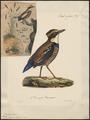 Pitta guajana - 1825-1834 - Print - Iconographia Zoologica - Special Collections University of Amsterdam - UBA01 IZ16400273.tif
