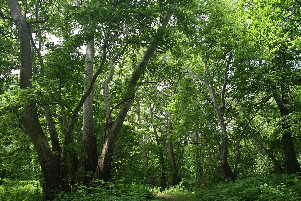 Plane tree Grove Tsav River