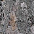 Platane, sycamore tree - panoramio (2).jpg
