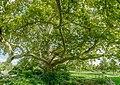 Platanus Doblhoffpark Baden 9373 Mercator 13.jpg