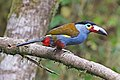Plate-billed Mountain-Toucan 1 JCB.jpg