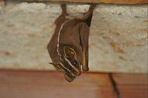 White-lined broad-nosed bat - Image: Platyrrhinus upside down 6
