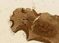 Pleioplana atomata (YPM IZ 020164).jpeg