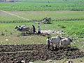 Ploughing Under U-Bein Bridge, Myanmar c71.jpg